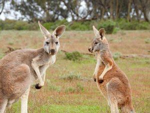 Auf den Straßen ist jederzeit mit Wildwechsel wie Kängurus, Englisch kangaroos, zu rechnen.