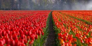 Nicht nur für seine Tulpenfelder ist Holland bekannt.