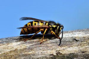 Das Töten von Wespen kann mit Bußgelder belegt werden.