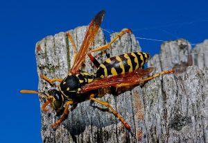 Welche Bußgelder drohen beim Töten von Wespen oder zerstören von Wespennestern?Welche Bußgelder drohen beim Töten von Wespen oder zerstören von Wespennestern?
